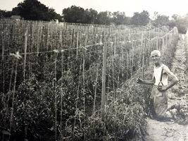 Frank Bennis tending Tomato Plants on land that is now Thorpe Park.